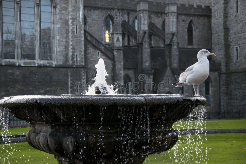 都伯林 爱尔兰-2017年11月09日:在喷泉的海鸥在圣帕特里克` s大教堂庭院里  免版税库存照片