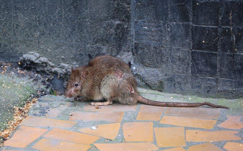 都市地下室鼠 免版税库存照片