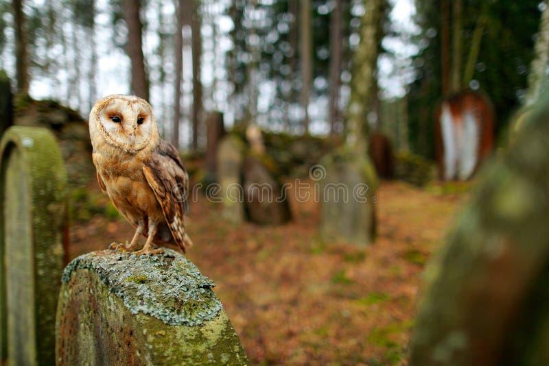 都市野生生物 不可思议的鸟谷仓猫头鹰,晨曲的铁托,飞行在石篱芭上在森林公墓 野生生物场面自然 动物behavio 免版税库存图片