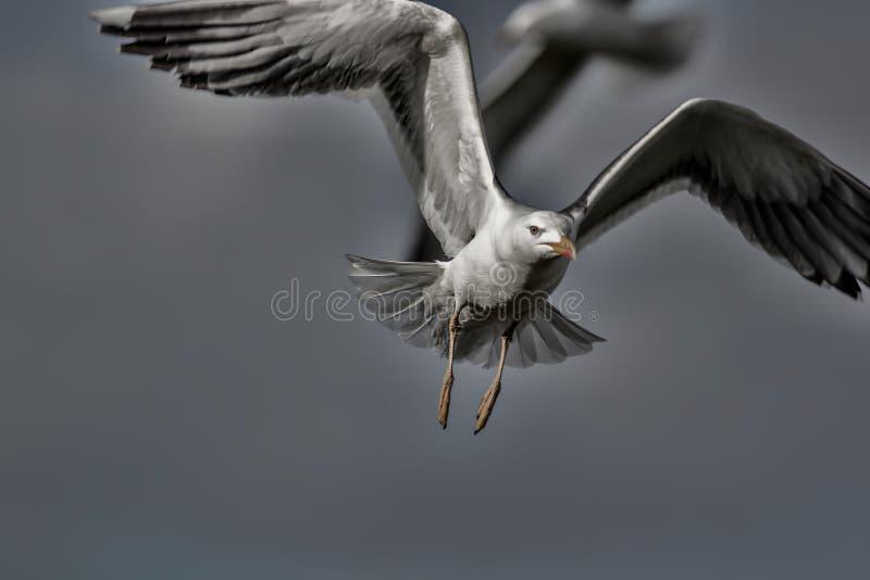 都市野生生物 饥饿攻击的鸟 a的美术的黑暗和令人毛骨悚然的图片 库存照片