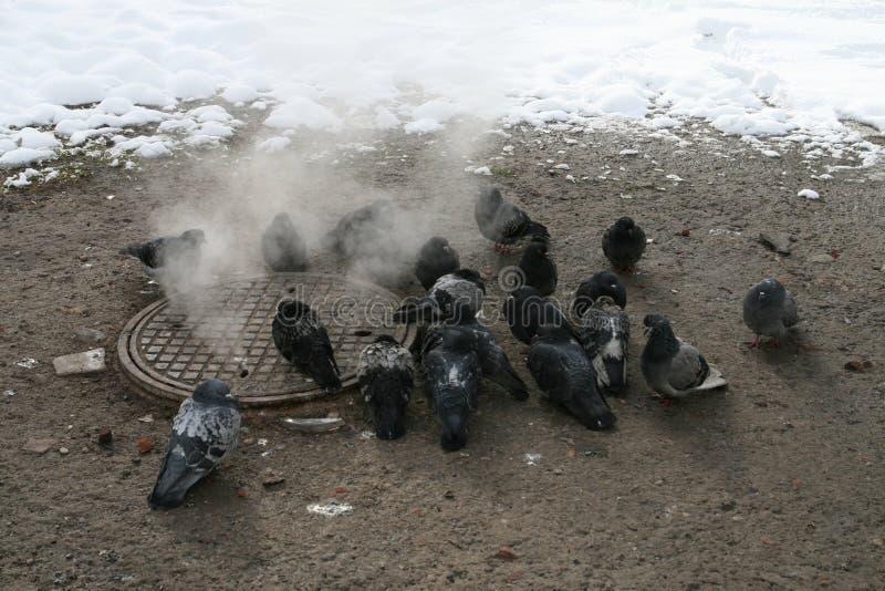 都市鸽子在冬天温暖在出入孔旁边 库存图片