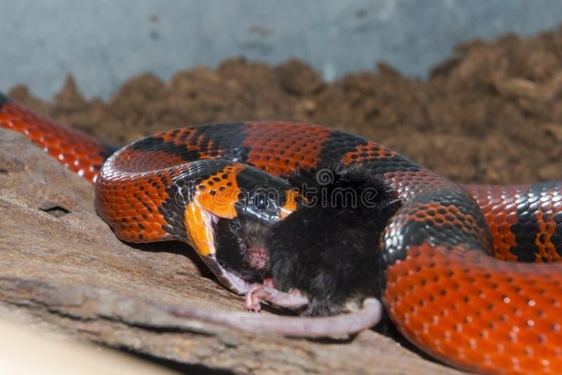 洪都拉斯牛奶蛇(Lampropeltis triangulum hondurensis)吃a 免版税库存图片