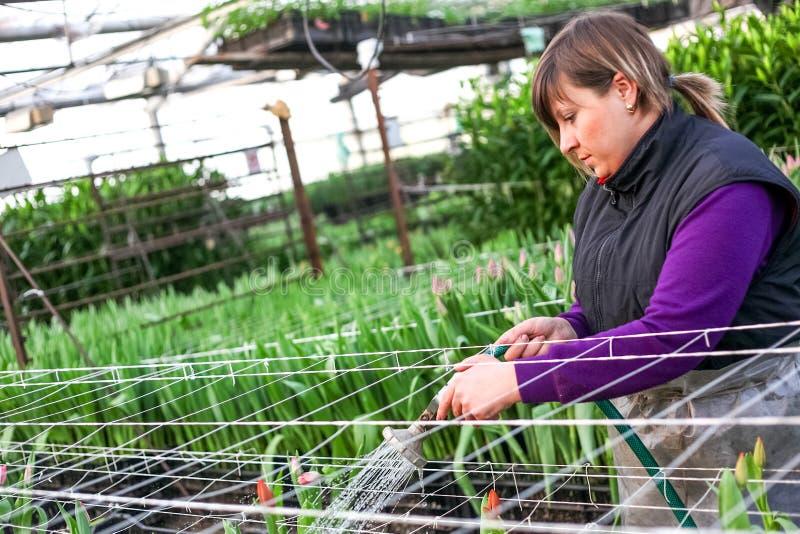 鄂木斯克,俄罗斯- 2012年2月21日:郁金香温室的妇女 库存图片
