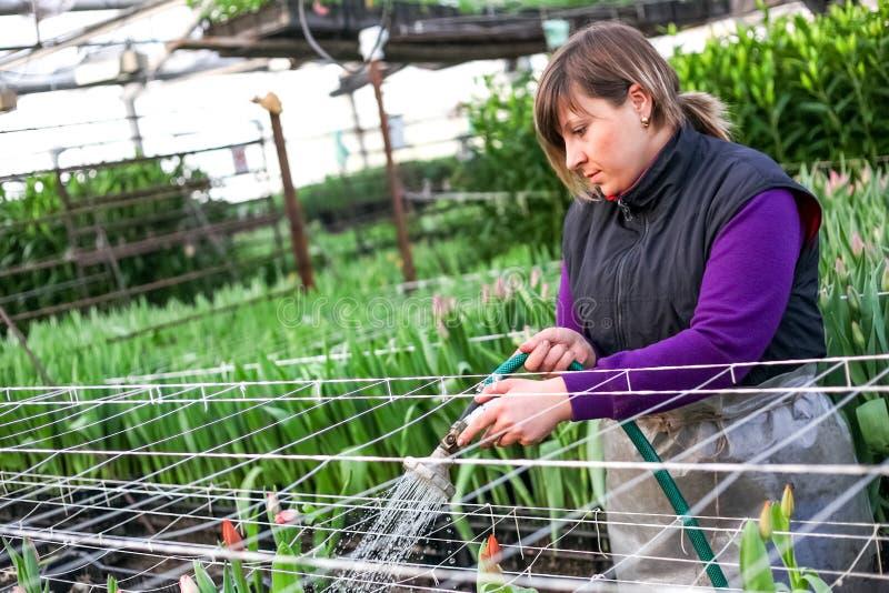鄂木斯克,俄罗斯- 2012年2月21日:郁金香温室的妇女 库存照片