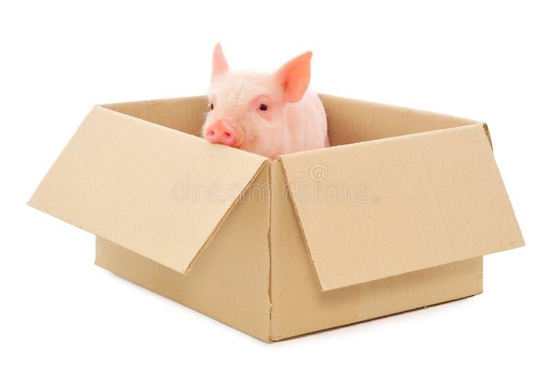 配件箱猪 免版税库存图片