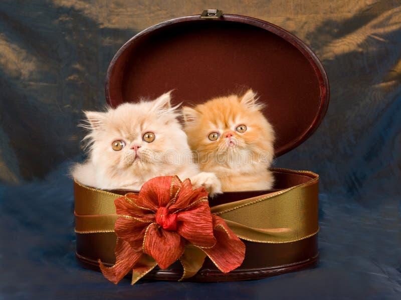 配件箱逗人喜爱的小猫波斯俏丽 免版税库存照片
