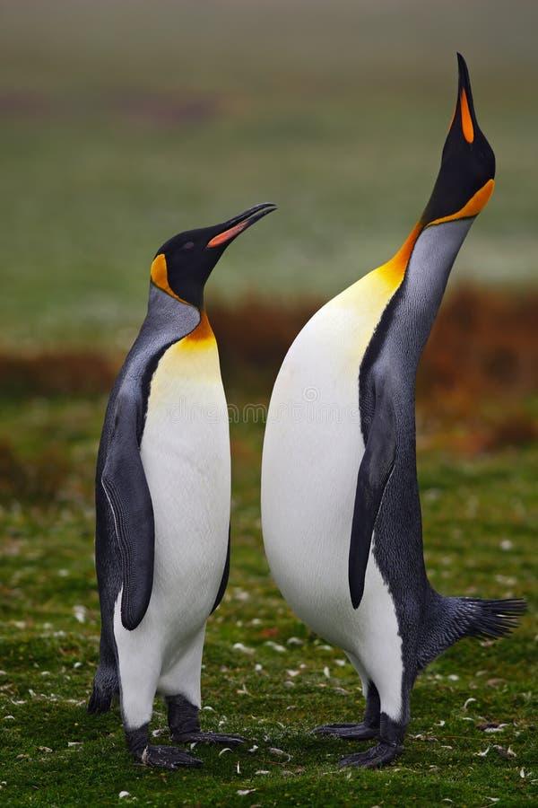 配对企鹅 小和大鸟 企鹅的男性和女性 拥抱在与绿色backgroun的狂放的自然的企鹅国王夫妇 免版税库存图片