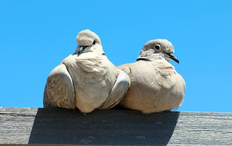 配对在木头的爱情鸟 图库摄影