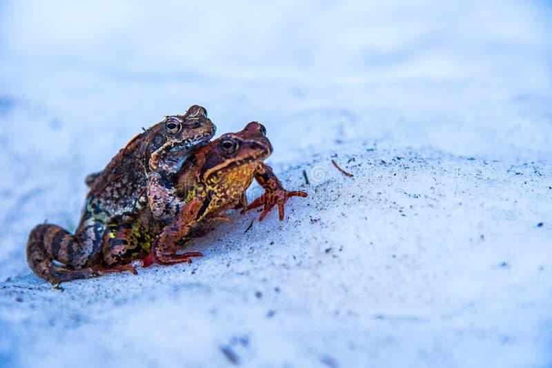 配对季节的野生青蛙 库存图片