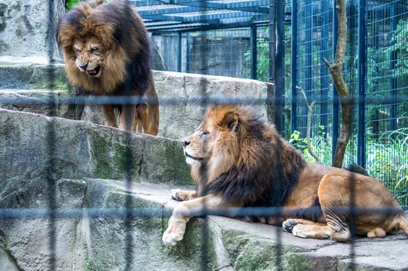 配对狮子在动物园里 免版税库存照片