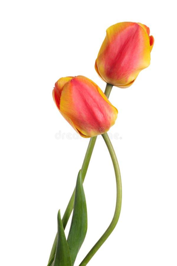 配对美丽的春天花 背景空白查出的郁金香 库存图片