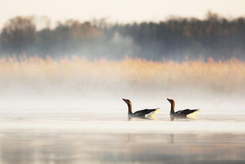 配对跳舞在湖的野生鹅 免版税库存照片
