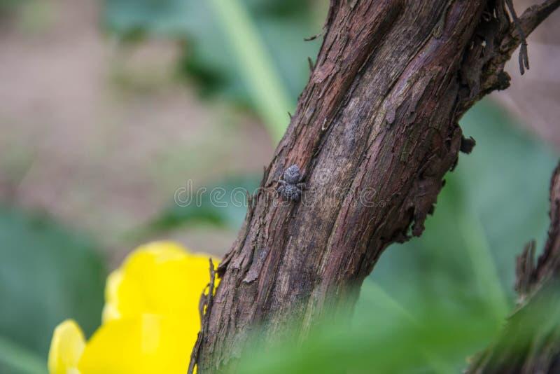 酒吠声特写镜头与小跳跃的蜘蛛在吠声,在树干的昆虫的 免版税库存照片