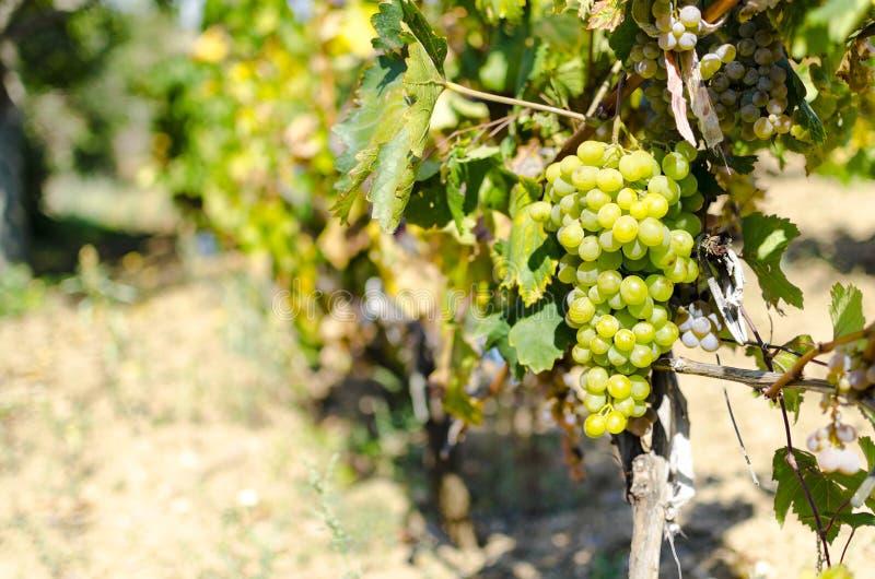 酒围场在秋天的葡萄和黄色叶子在收割期 库存照片
