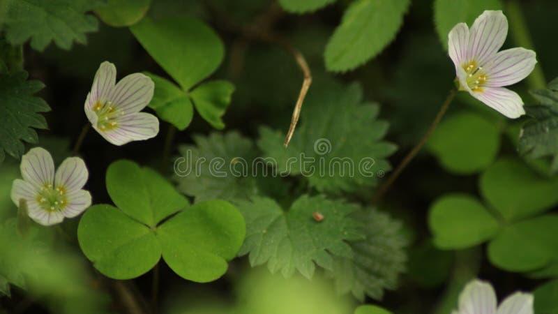 酢浆草开花Oxalis acetosella 绿色背景 库存照片