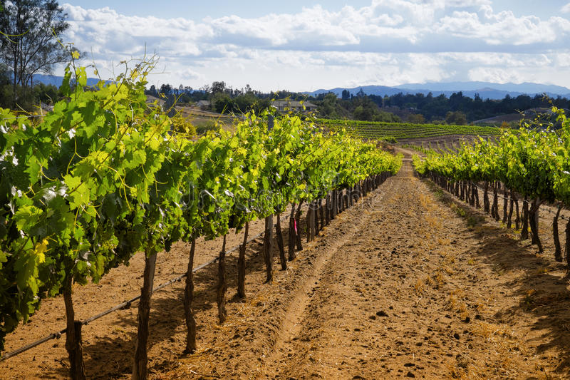 酿酒厂葡萄树, Temecula,加利福尼亚 免版税库存图片
