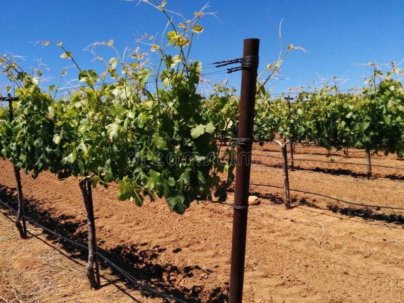 酿酒厂葡萄树 库存照片