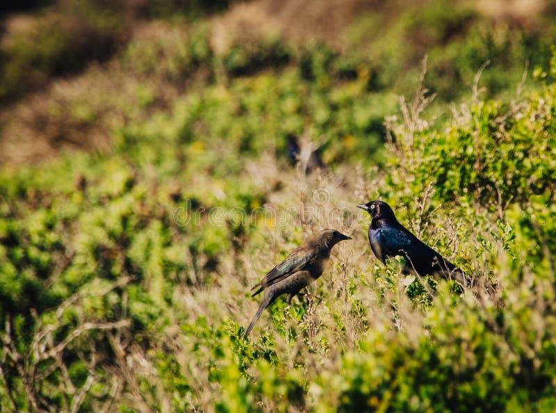 酿酒者在灌木的` s黑鹂夫妇在加利福尼亚 图库摄影