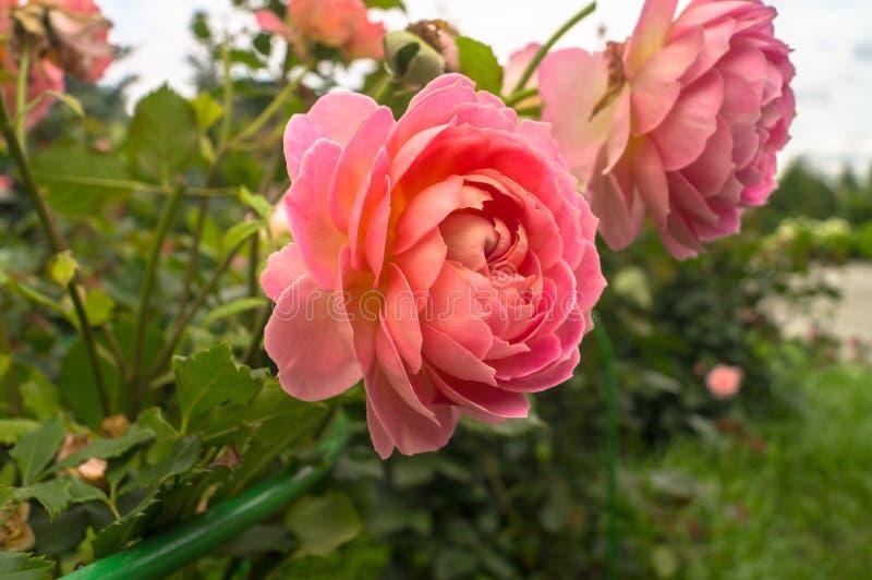 醉汉玫瑰色灌木的片段,富有地散布与桃红色花在金黄阳光下 爱,幸福