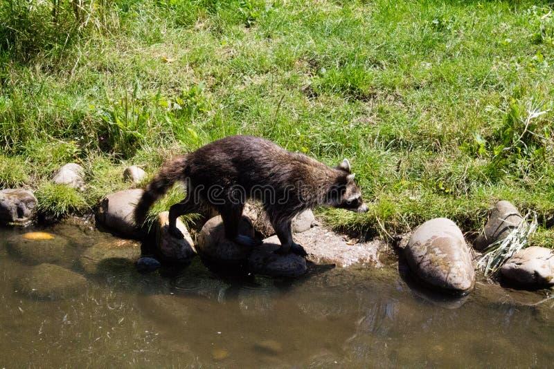 醒来在河边的浣熊 库存照片