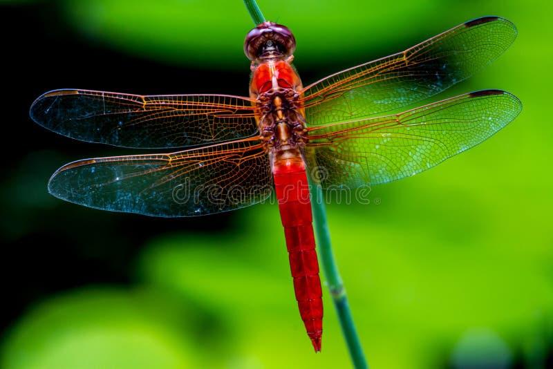 醒目的特写镜头顶上的观点的与酥脆的红色漏杓或爆竹蜻蜓,详细,复杂,蛛丝翼 免版税库存照片