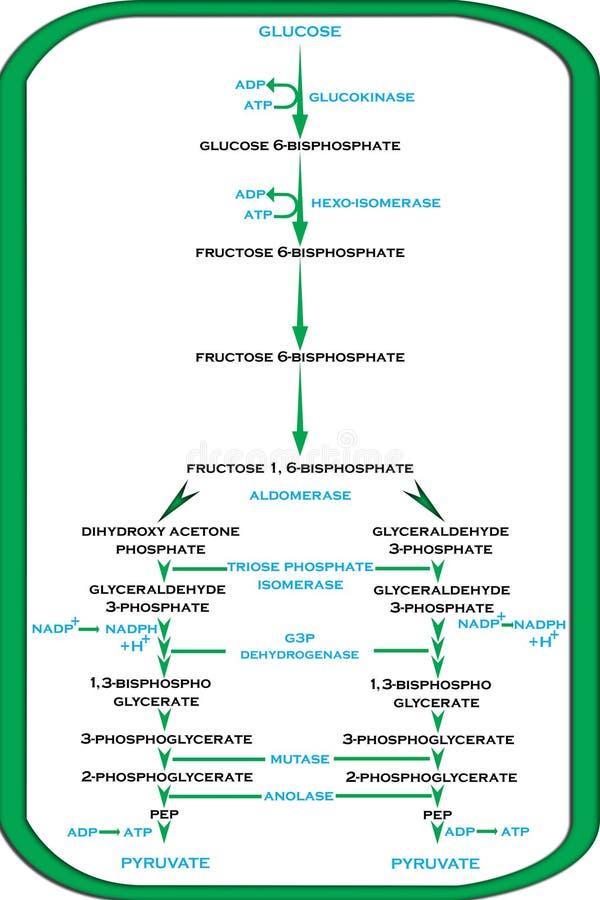 醣解作用的周期在植物中 向量例证