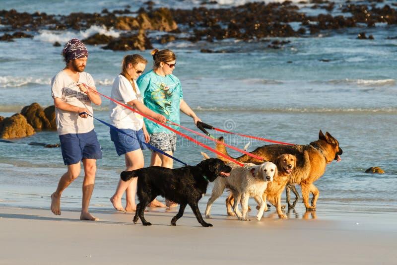采取一盒步行的狗在海滩 免版税图库摄影