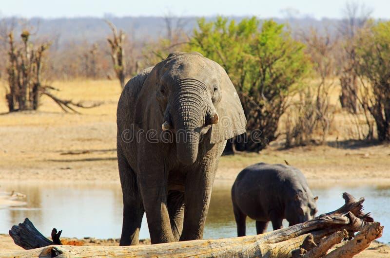 采取与一个大河马的Adfrican大象一份饮料在背景中 库存图片