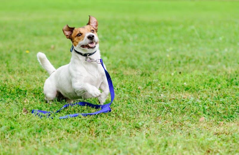采取与跑与在地面的皮带的愉快和激动的狗的一个宠物概念 免版税库存图片