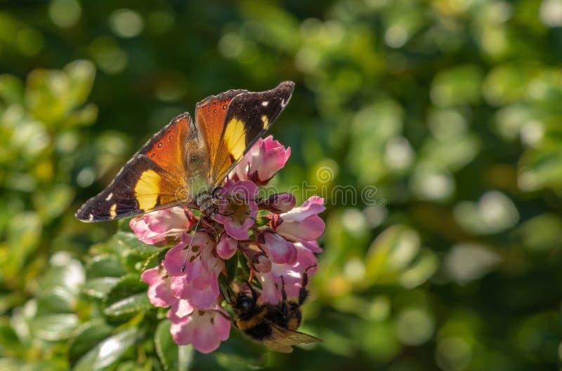 采取从桃红色花的蝴蝶和土蜂花蜜 图库摄影