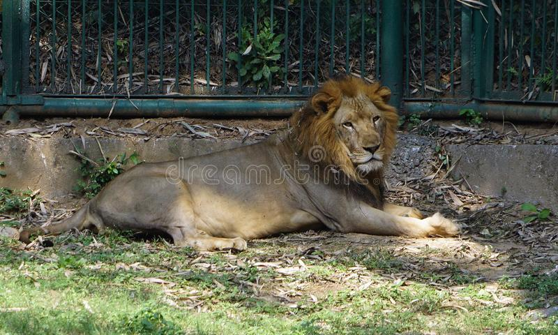 采取休息的狮子在动物园里 免版税图库摄影