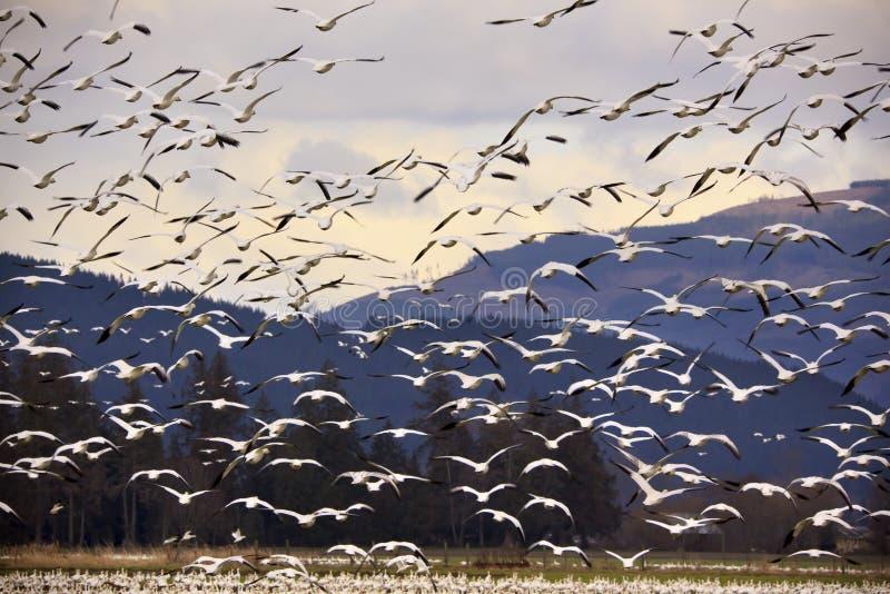 采取千位的雪的飞行鹅 库存图片