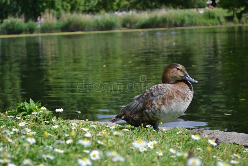 采取在一些太阳的鸭子 图库摄影