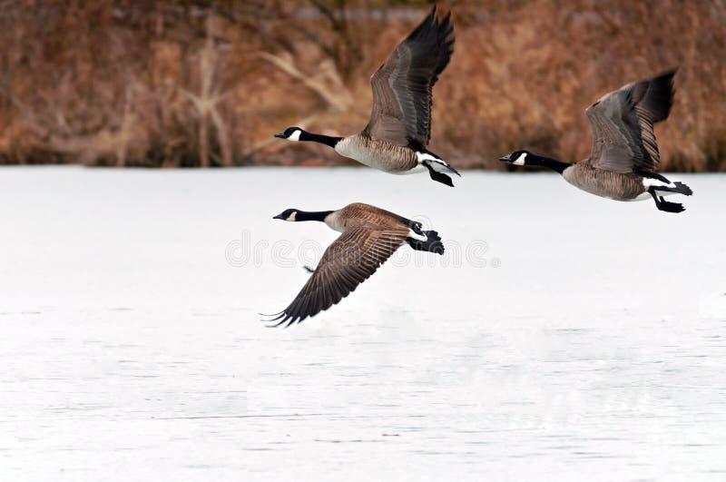 采取在冻结湖的加拿大鹅飞行 库存照片