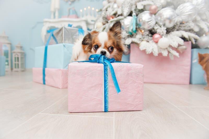 采取在xmas的滑稽的小犬座宠物奇瓦瓦狗圣诞礼物箱子 免版税图库摄影