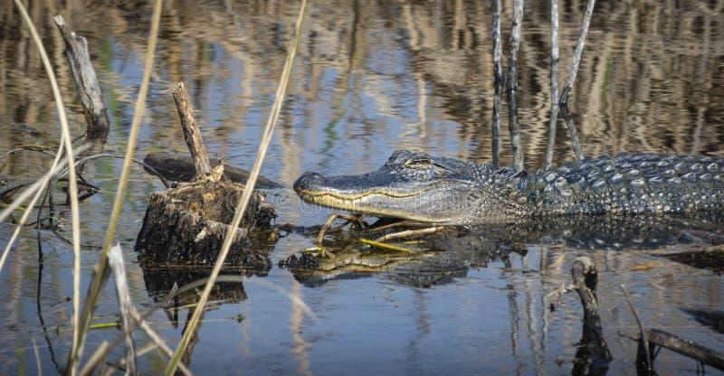 采取太阳和休息的鳄鱼 图库摄影
