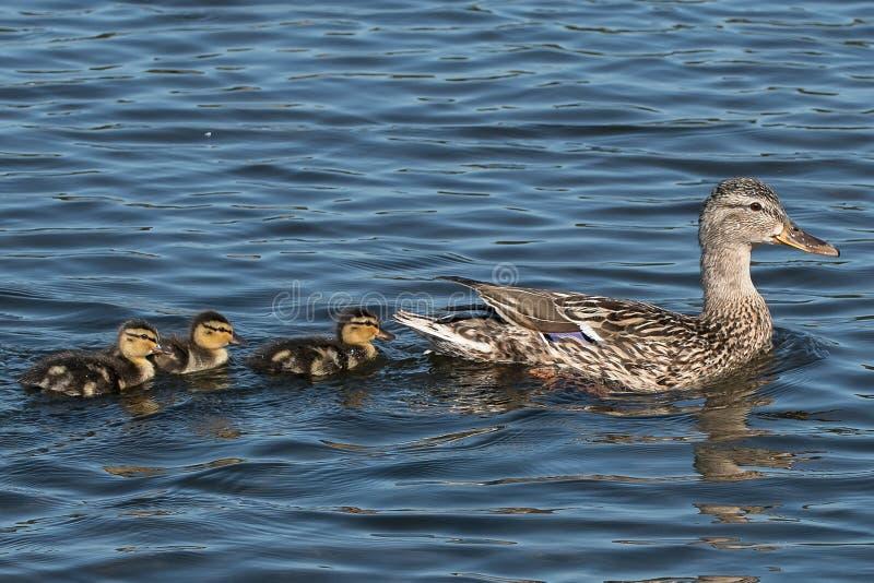 采取她的游泳的母野鸭鸭子 免版税库存图片