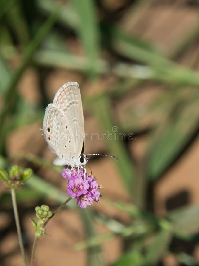 采取它的在紫罗兰色花的小蓝色丘比特早餐正面 库存照片