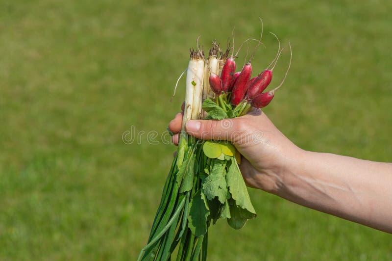 采取有机庭院萝卜和大葱的收获手 库存照片