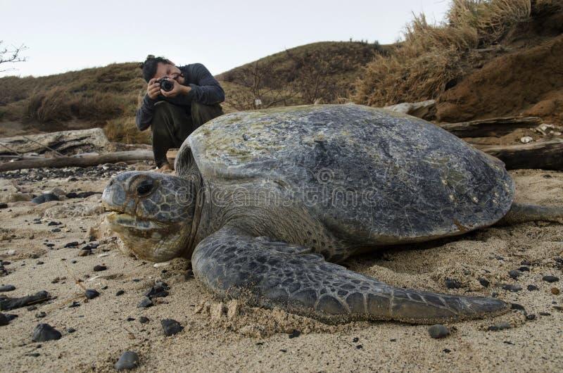 采取照片ofPacific绿浪乌龟的生物学家 免版税库存图片