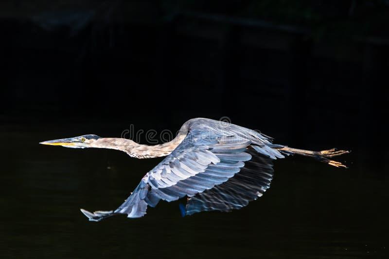 采取的蓝色极大的苍鹭 库存图片