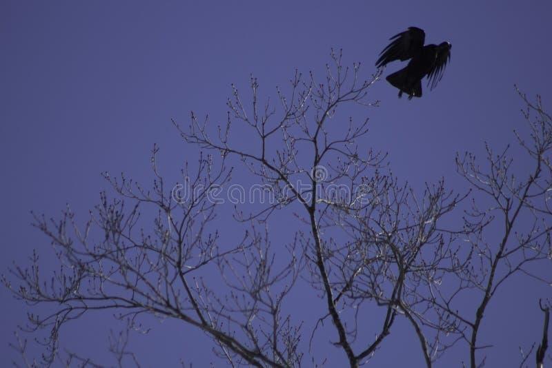 采取飞行的乌鸦 免版税库存图片