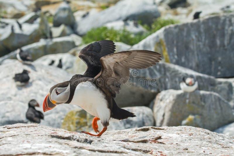 采取飞行的大西洋海鹦 免版税库存照片