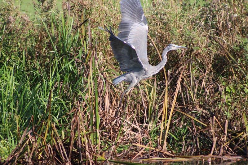 采取飞行的灰色苍鹭 图库摄影