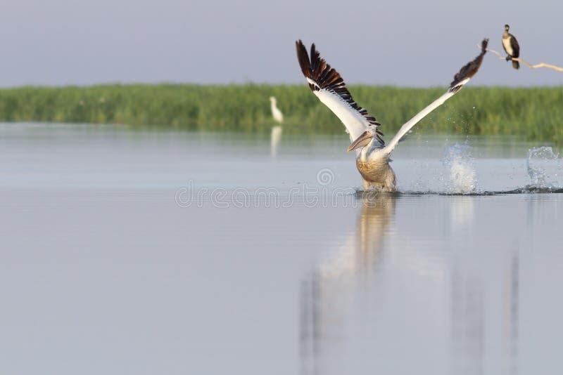 采取从水的鹈鹕飞行 免版税库存照片