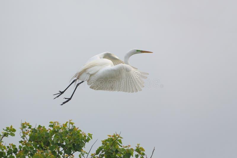 采取从Texs群的伟大的白鹭飞行 免版税库存图片