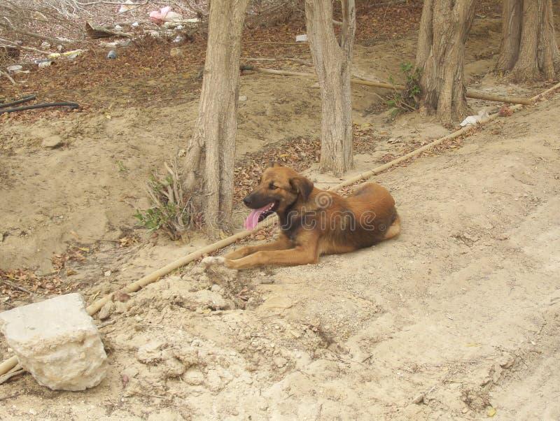 采取A休息的一只流浪狗在沙漠 库存照片