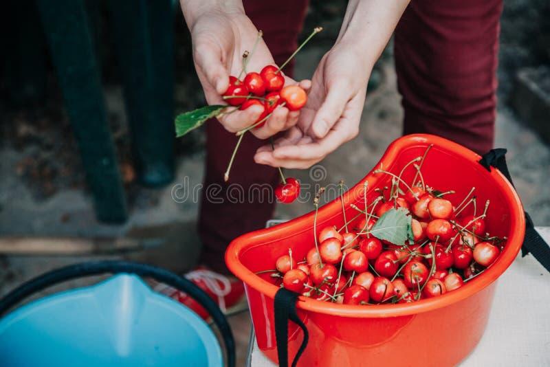 采摘一棵成熟樱桃的妇女的手 库存图片