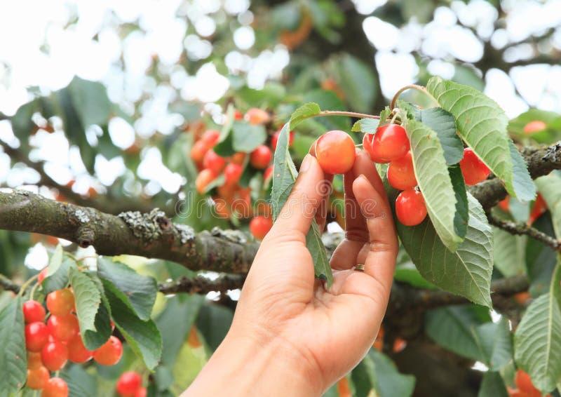 采摘从樱桃树的樱桃 免版税库存图片