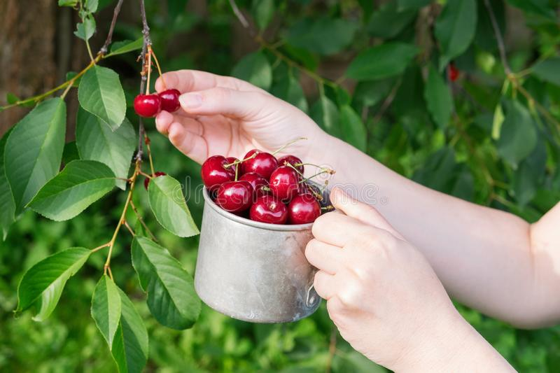 采摘从樱桃树的甜樱桃 拿着杯子的妇女有很多樱桃 免版税图库摄影
